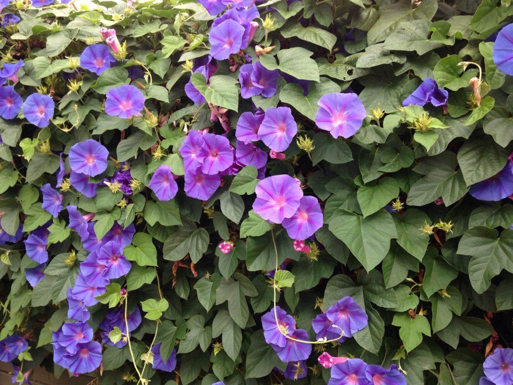blue-flowers-946559_1920